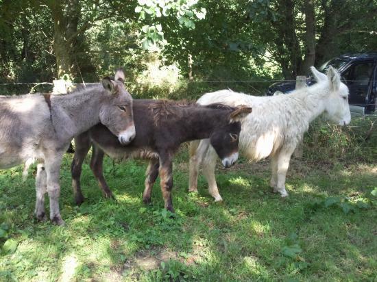 ELEVAGE d'ânes Cotentin, Normand et blanc
