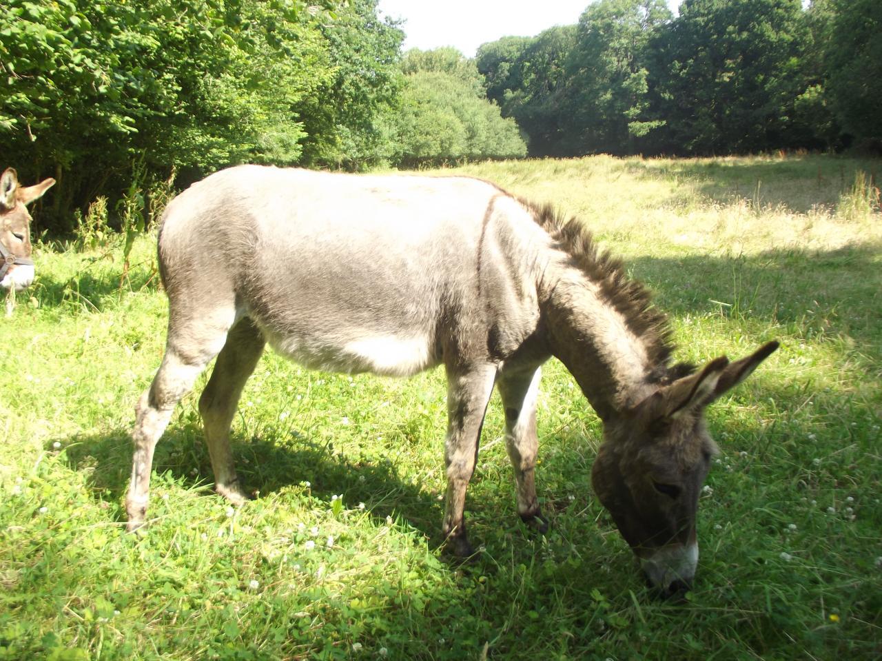 LEON âne type COTENTIN