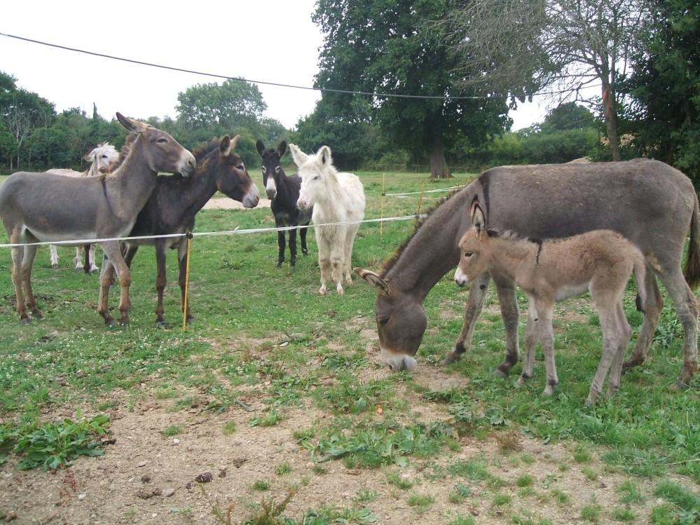 Notre cavalerie ânes