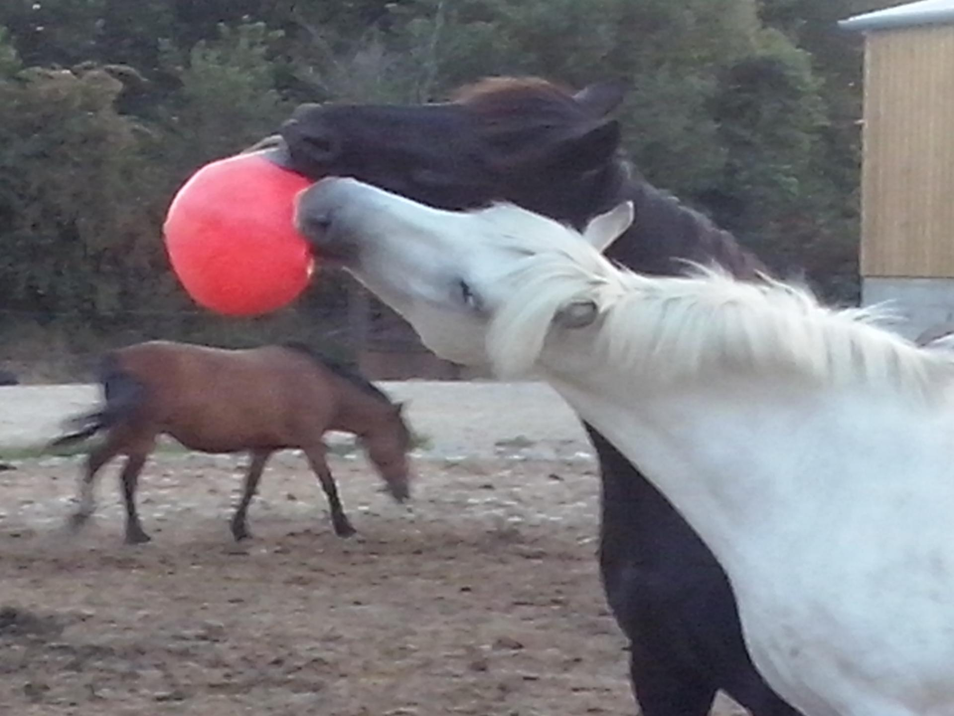 Chevaux, poneys à nous mettre au pair sur  juillet aout