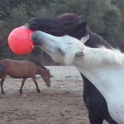 Les chevaux ont des jeux dans les paddocks